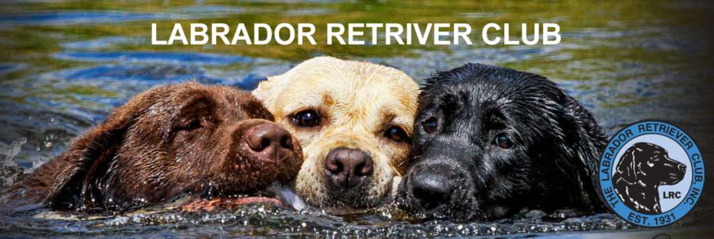 The Labrador Retriever Club, Inc. is the only organization officially recognized by the American Kennel Club as the national parent club of the Labrador Retriever